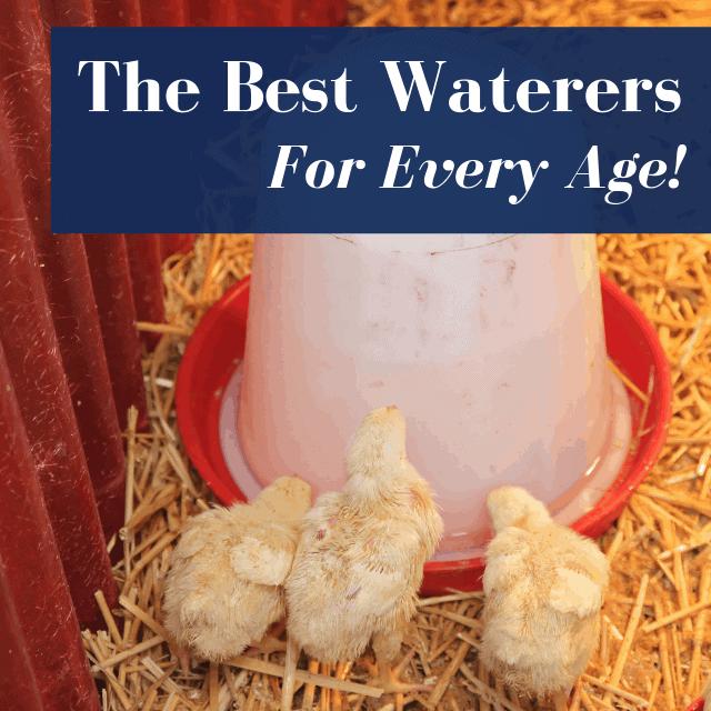 Best Chicken Waterer: A Buyer's Guide