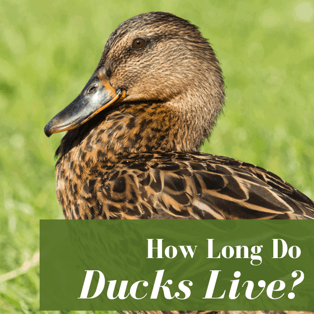 how long do ducks live with hen in field