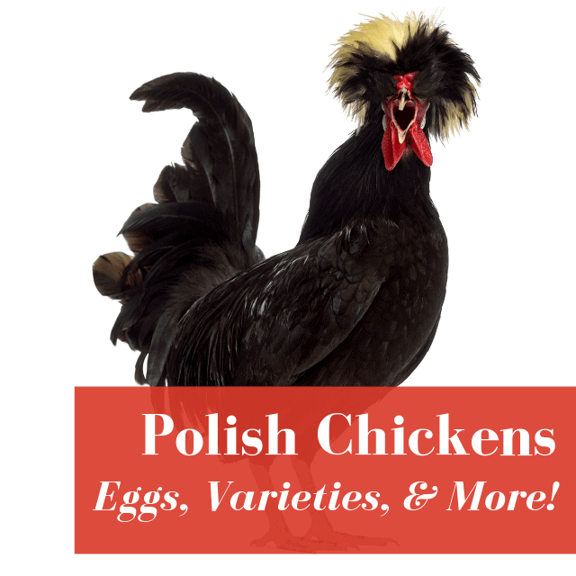 Polish Chickens: Eggs, Colors, & More