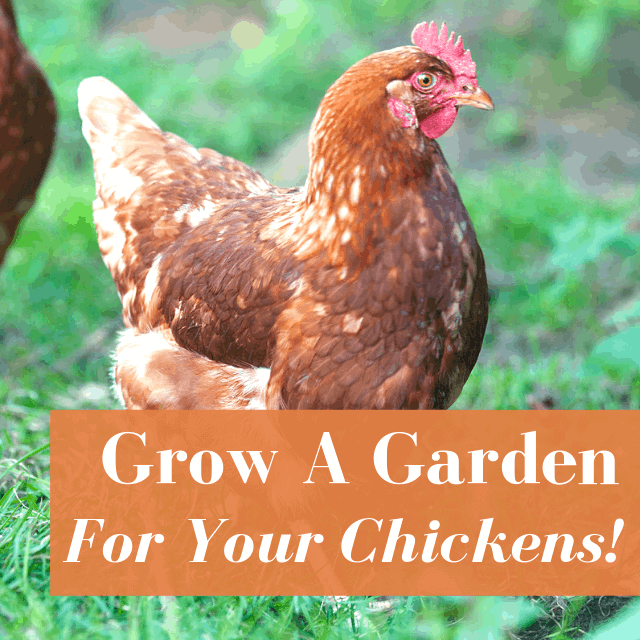 What Can Chickens Eat In Your Garden? Planning a Chicken Garden for All Seasons: Spring