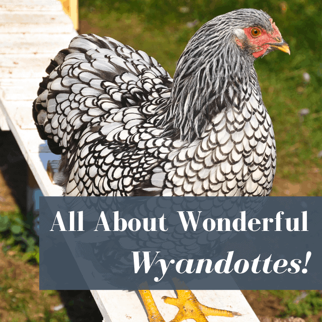 wyandotte chicken on a ramp