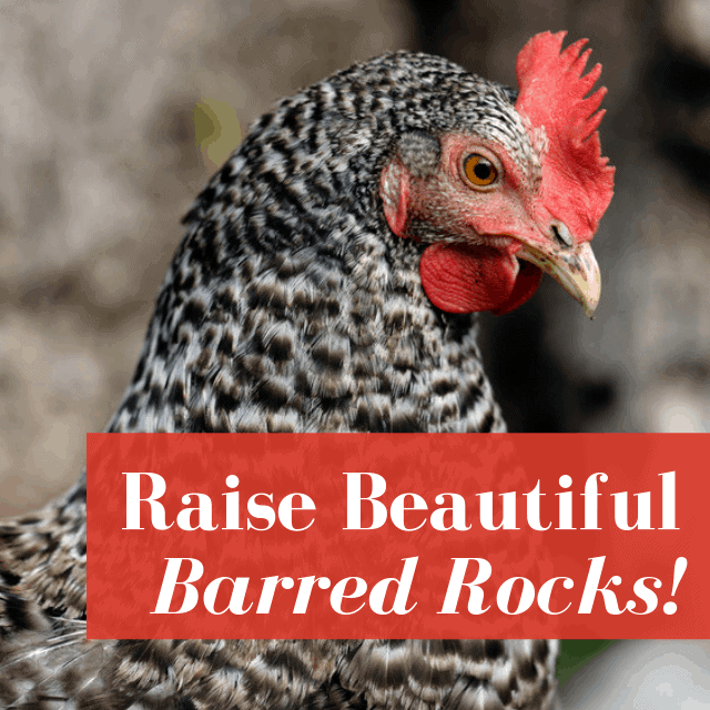 Barred rock chicken hen