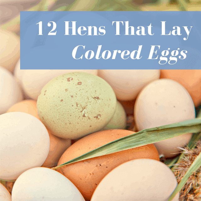 12 Chickens That Lay Colored Eggs