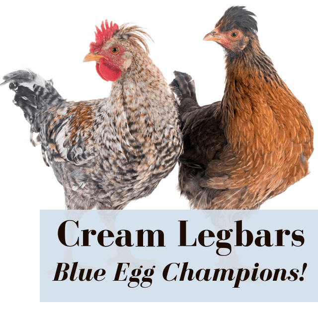 Cream legbar chickens on white background