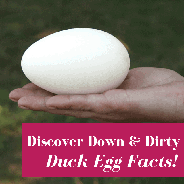 Duck Eggs: Nutrition & Buyer's Guide