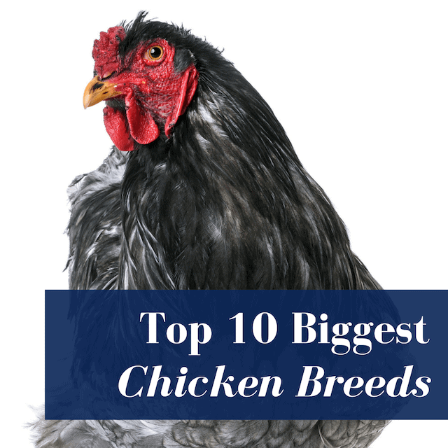 10 Largest Chicken Breeds That Are Also Great Pets