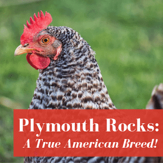 barred plymouth rock chicken hen