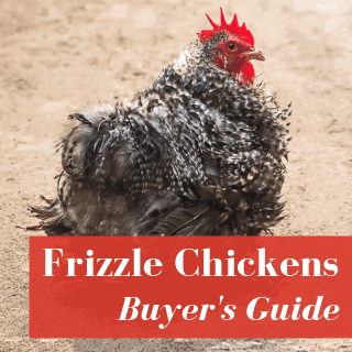 Frizzle Chickens: Buyer's Guide & Care