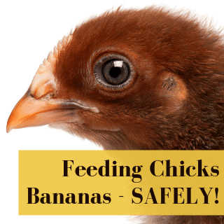 Can Baby Chicks Eat Bananas?