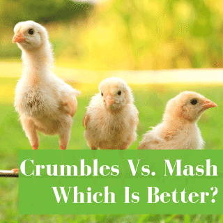 Are Crumbles Or Mash Better For Chicks?