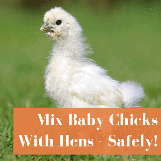Introducing Chicks To Adult Chickens