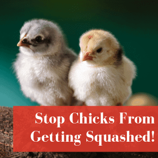How Many Chicks Should Be In A Brooder?
