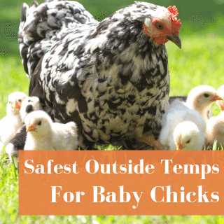 Best Outside Temperature For Chicks