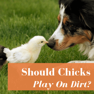 Are Chicks Safe To Play On Dirt?