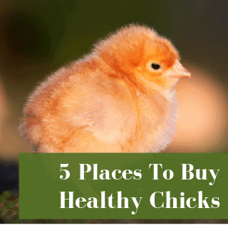 Where To Buy Baby Chicks