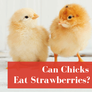 can chicks eat strawberries