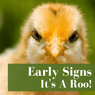 Early signs chick is rooster