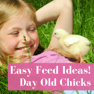 3 (Easy) Steps To Feeding Healthy Day Old Baby Chicks