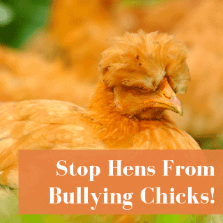Why Do Hens Pick On Chicks?