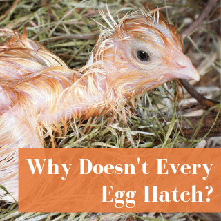 Why Don't All Incubated Eggs Hatch?