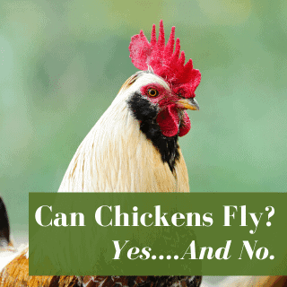 Can Chickens Fly? Yes….And No.