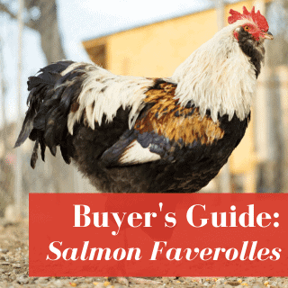 Salmon Faverolles Chickens Owner's Guide