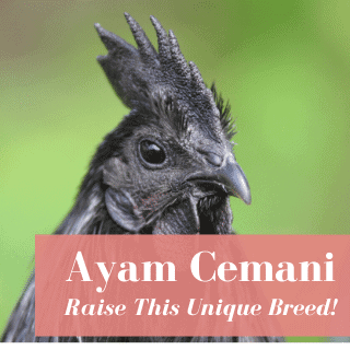 Why Ayam Cemani Chickens Are So Rare