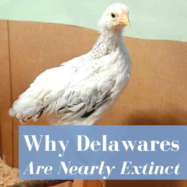 Why Delaware Chickens Are Nearly Extinct