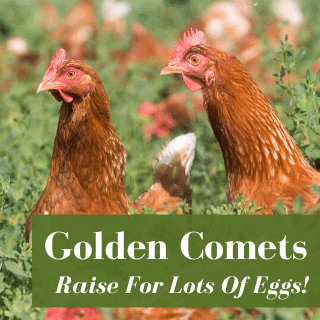 Raise Golden Comets For Lots Of Eggs!