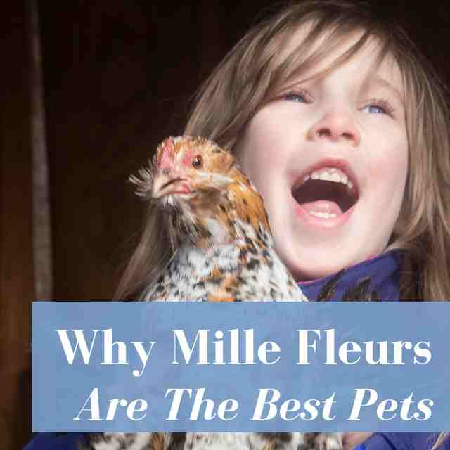 Why Mille Fleur d'Uccle Chickens Are The Best Pets