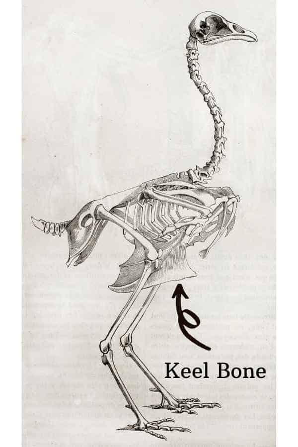 Keel Bone Chickens