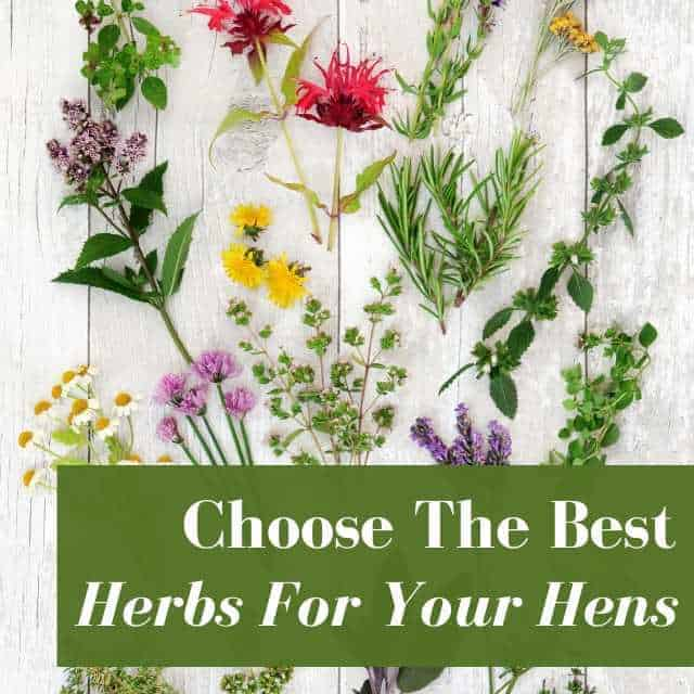 Choose The Right Nesting Herbs For Your Flock With This Simple Guide