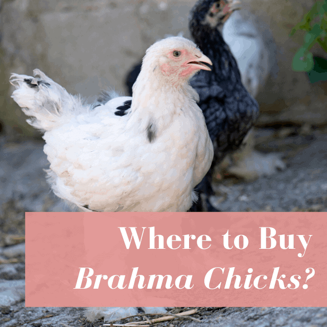 The 10 Best Hatcheries for Brahma Chicks