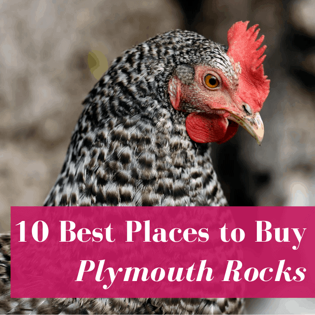 10 Best Hatcheries to Start a Flock of Plymouth Rocks