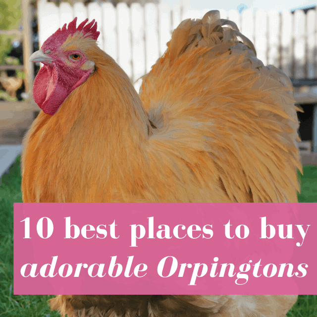 10 Best Places to Buy Orpington Chickens Online