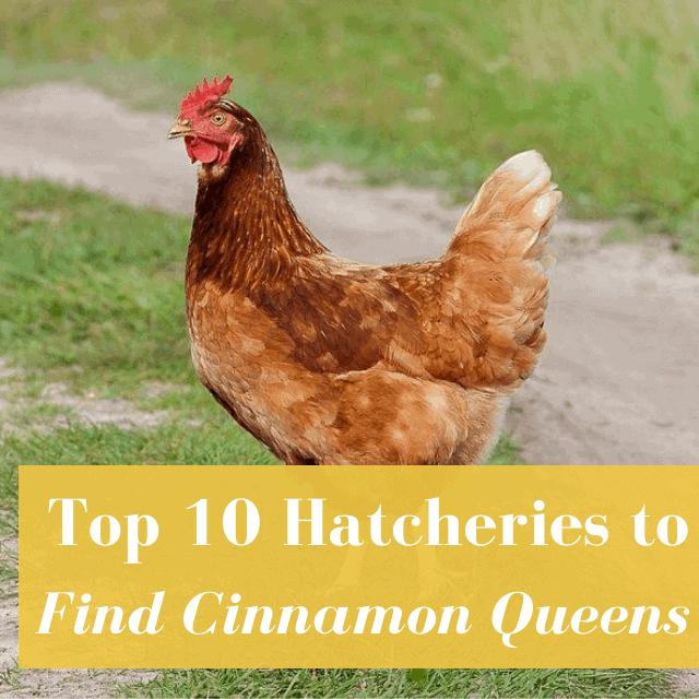 Best Hatcheries to Buy Cinnamon Queens