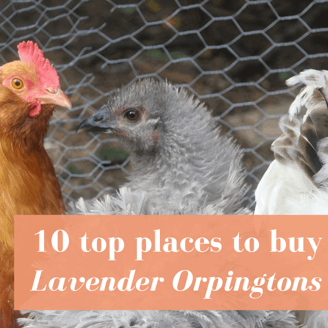 Best Hatcheries to Buy Lavender Orpington Chickens