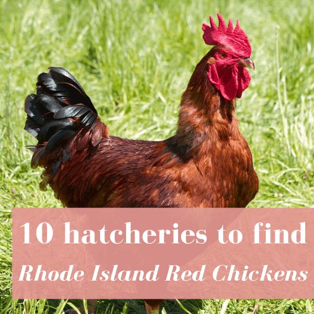 Best Hatcheries to Buy Rhode Island Red Chickens