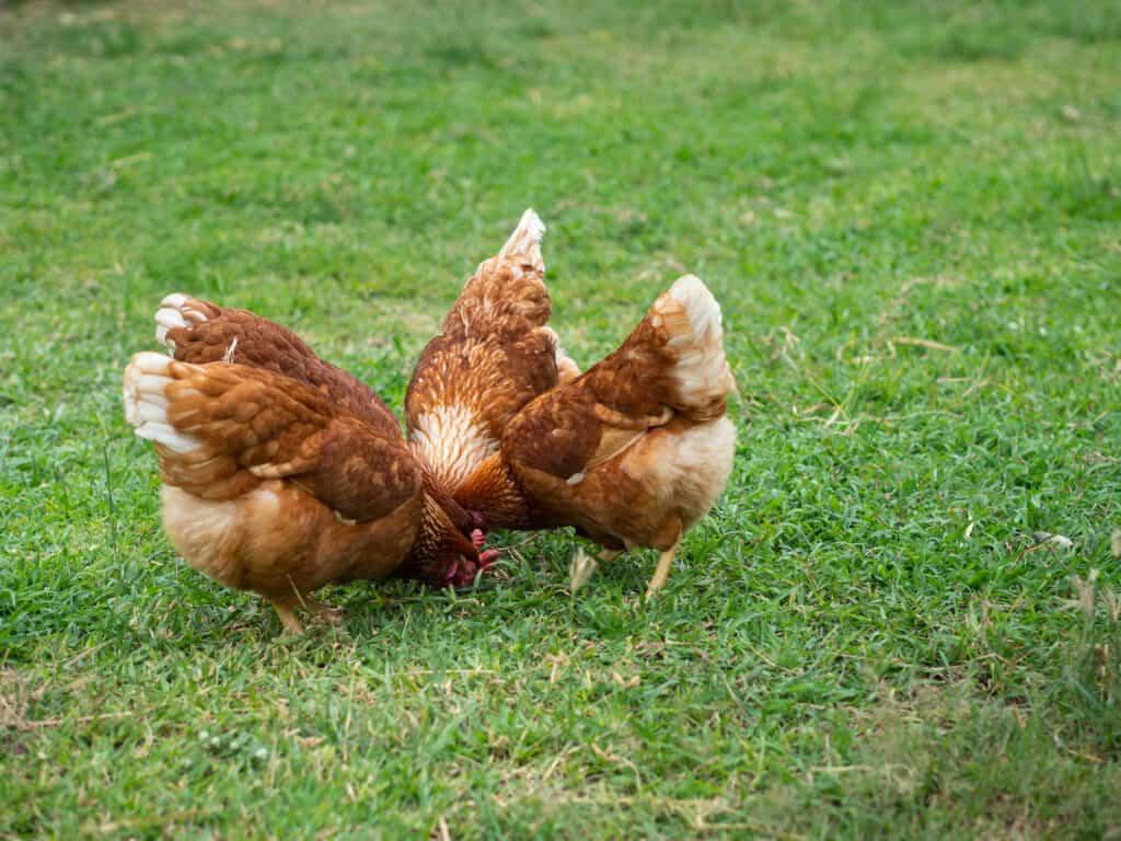 buy rhode island red chickens