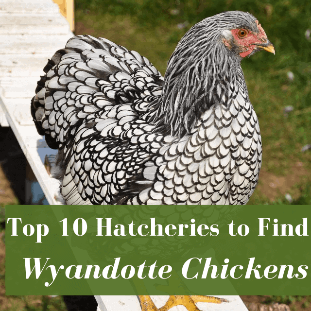 Best Places to Buy Wyandotte Chickens