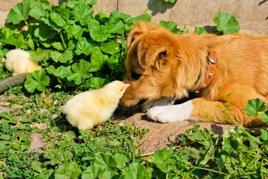 stopping dog from attacking animals and chicks