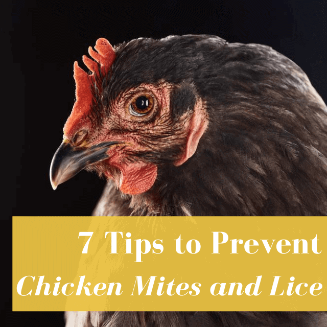 What is the Difference Between Chicken Mites & Lice?
