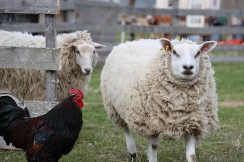 black australorp on farm with sheep
