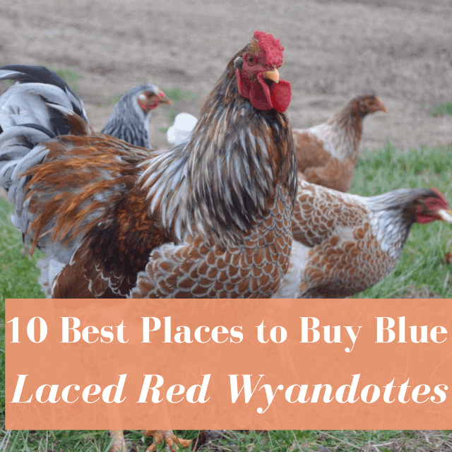 Best Hatcheries to Buy Blue Laced Red Wyandottes