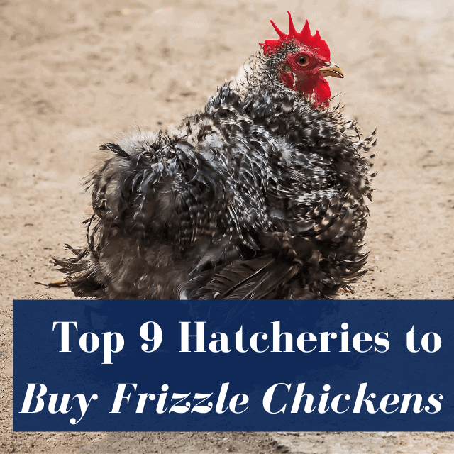 Best Hatcheries to Buy Frizzle Chickens