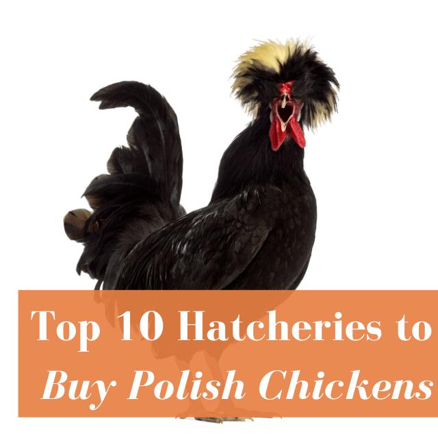 Best Hatcheries to Buy Polish Chickens