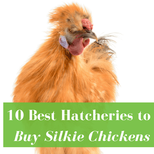 Best Hatcheries to Buy Silkie Chickens