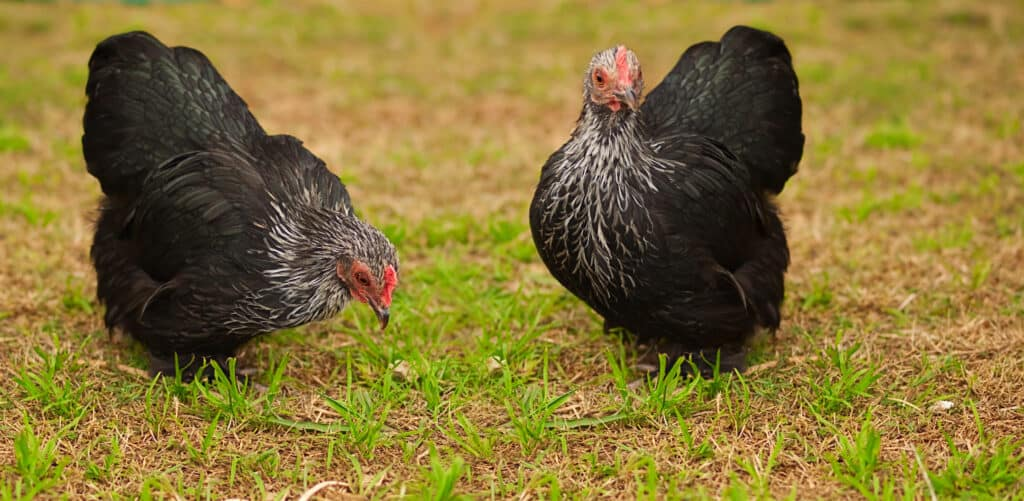 chickens grazing in yard