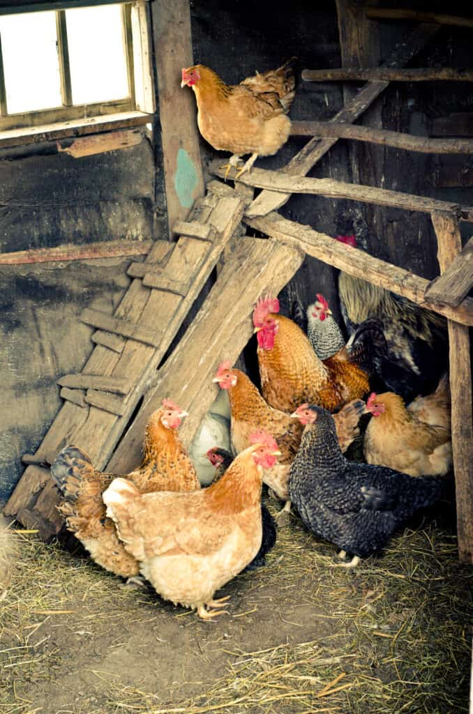 chicken coop is clean to prevent coccidiosis in chickens