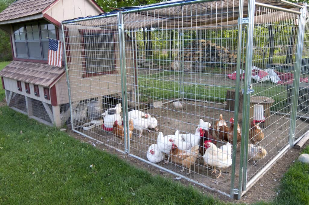 wild birds can get to chicken run cause coccidiosis